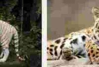 Arti Mimpi Mengusir Harimau
