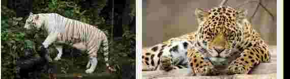 Arti Mimpi Digigit Harimau