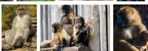 Arti Mimpi Berkelahi Dengan Monyet Menurut Primbon