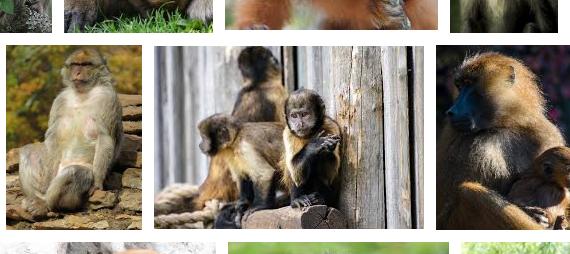 Arti Mimpi Mengusir Monyet