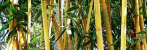 5 Mitos Kesaktian Bambu Kuning Yang Mungkin Tidak Kamu Percaya