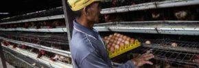 Arti Mimpi Ayam Bertelur Menurut Primbon dan Psikolog