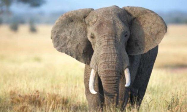 Arti Mimpi Dikejar Gajah
