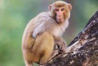 Arti Mimpi Melihat Monyet