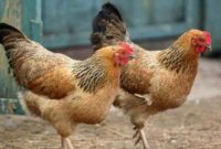 Arti Mimpi Membeli Ayam