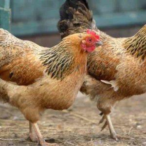 Arti Mimpi Mencuri Ayam