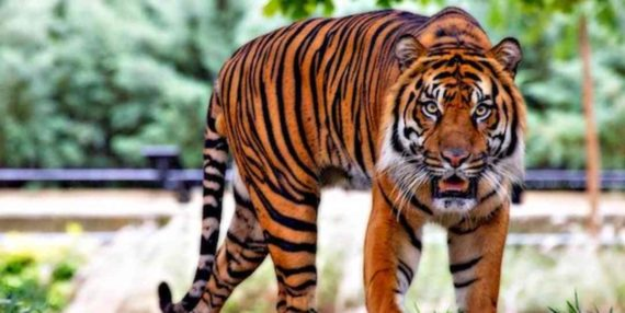 Makna Harimau di Dalam Mimpi