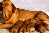 Mimpi Anjing Melahirkan