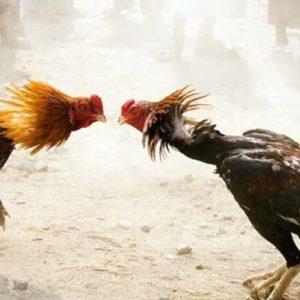Mimpi Ayam Jago