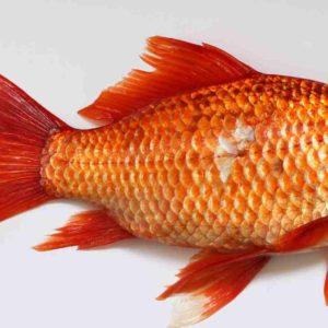 Mimpi Digigit Ikan