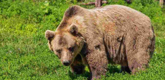 Arti Mimpi Dikejar Beruang