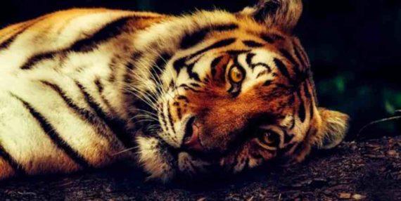 Arti Mimpi Melihat Harimau