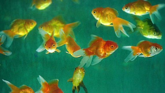 Arti Mimpi Melihat Ikan