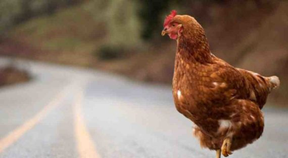 Mimpi Menyembelih Ayam