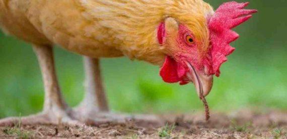 Mimpi Tentang Ayam