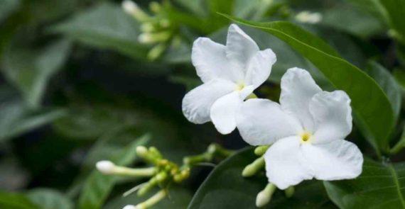 Mitos Bunga Melati Tentangg Jodoh