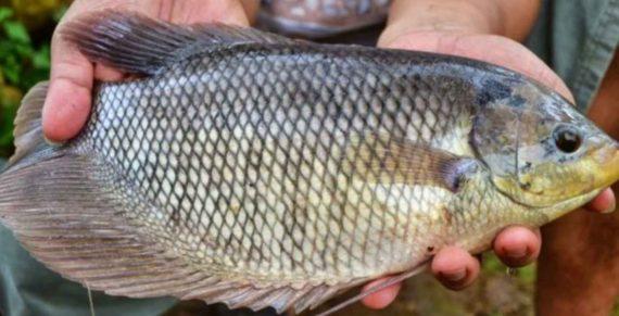 3 Alasan Pakar Kesehatan Melarang Kita Makan Ikan Nila