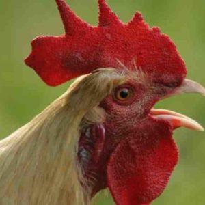 Arti Mimpi Memotong Ayam Menurut Primbon dan Psikolog